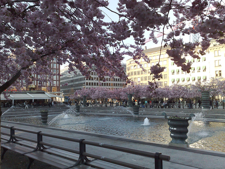 Pink cherry blossom trees surrounding a water fountain in a city.